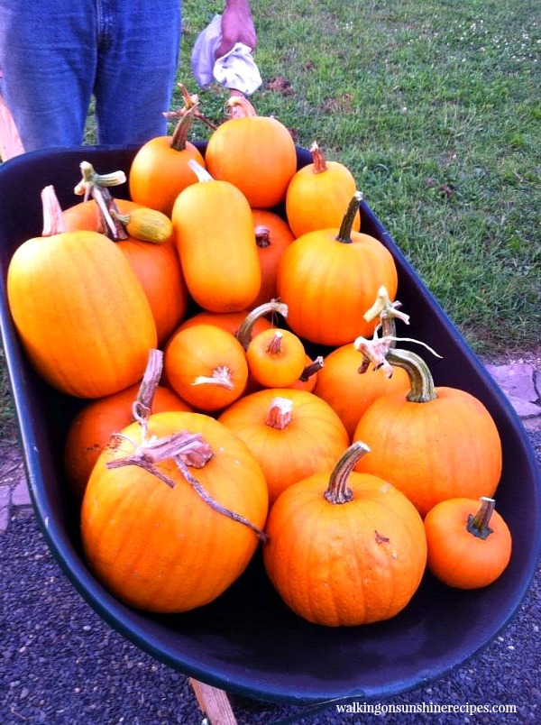 Pumpkins in a wheelbarrow from the Walking on Sunshine Garden