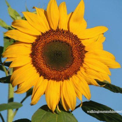 Gardening: Growing Sunflowers in My Garden