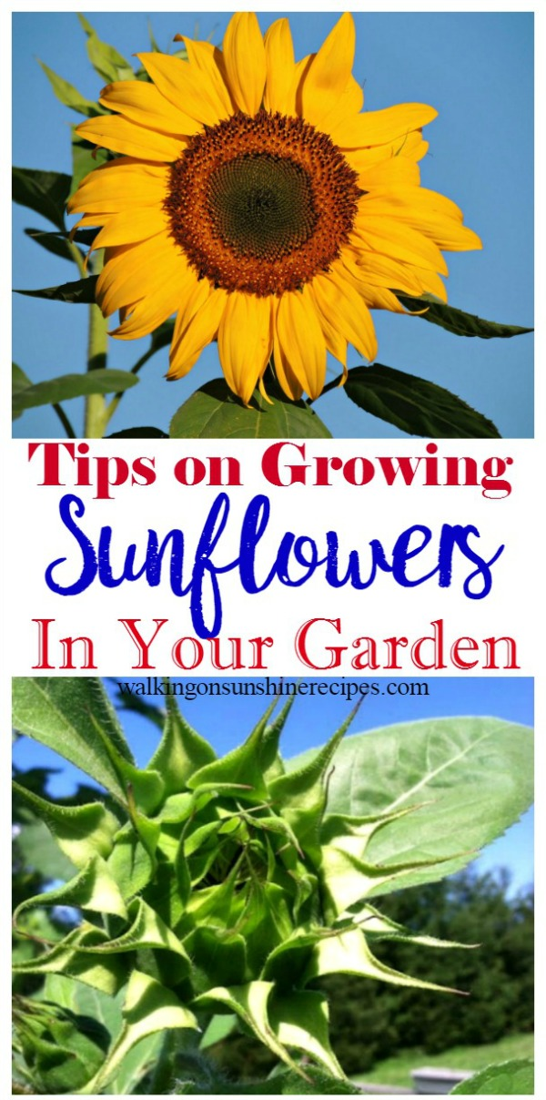 Easy Tips on Growing Sunflowers in Your Garden from Walking on Sunshine Recipes