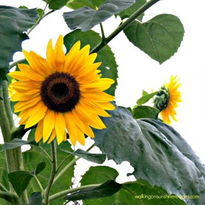 5 Tips on How to Grow Sunflowers in Your Garden
