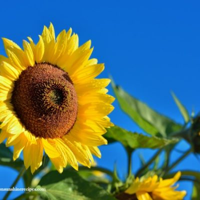 Gardening: 5 Tips on How to Grow Sunflowers in Your Garden