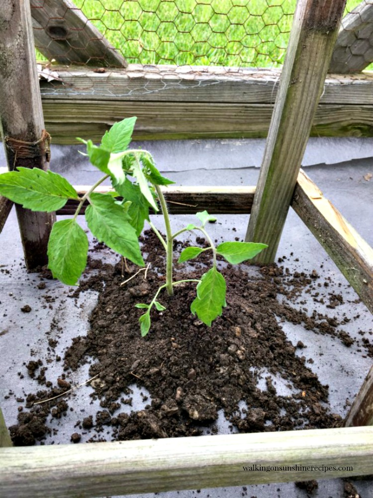 Newly planted tomato plant in between homemade tomato cage from Walking on Sunshine Recipes