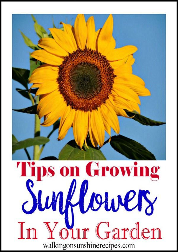 How to grow sunflowers from Walking on Sunshine