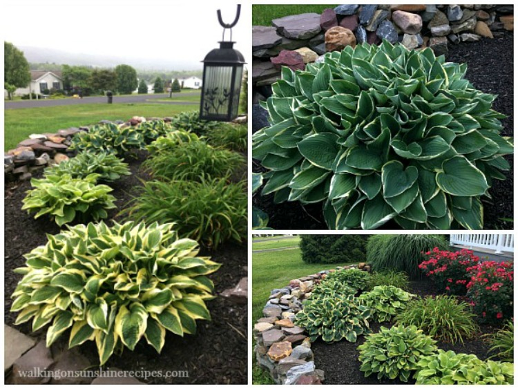 Tips on how to grow amazing hostas in your garden.