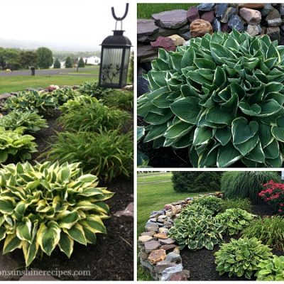 Tips on How to Grow Amazing Hostas