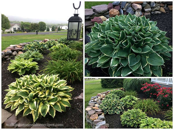 Tips on how to grow amazing hostas in your garden from Walking on Sunshine.