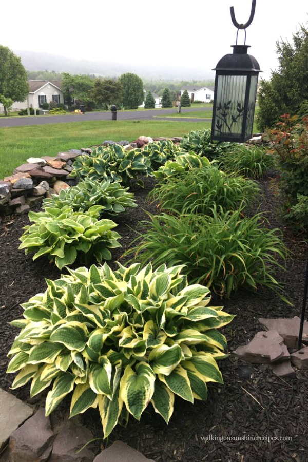 A beautiful variety of hostas growing in our front garden bed from Walking on Sunshine.