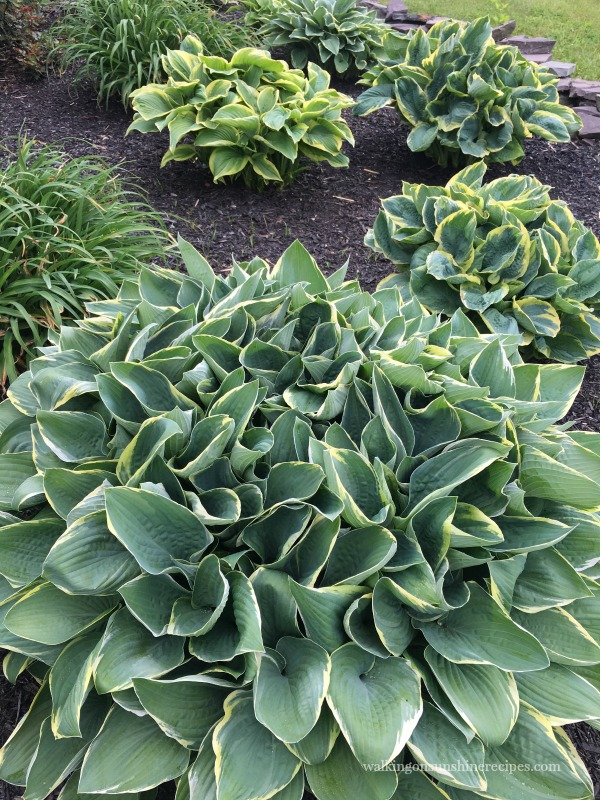 Variety of Hostas | Walking on Sunshine