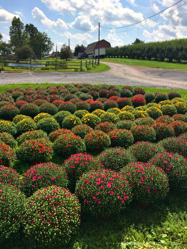 Heckman's Orchard Mums September 2017 from Walking on Sunshine Recipes.