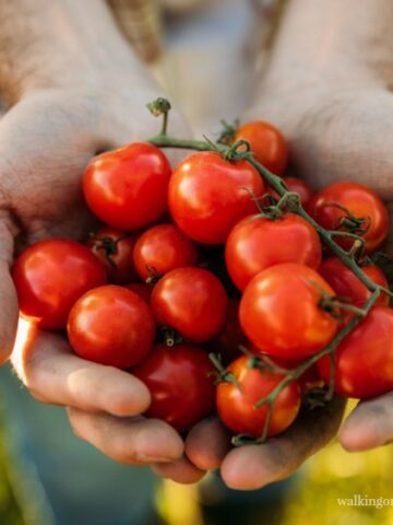 Man holding bunch of tomatoes from Walking on Sunshine Recipes