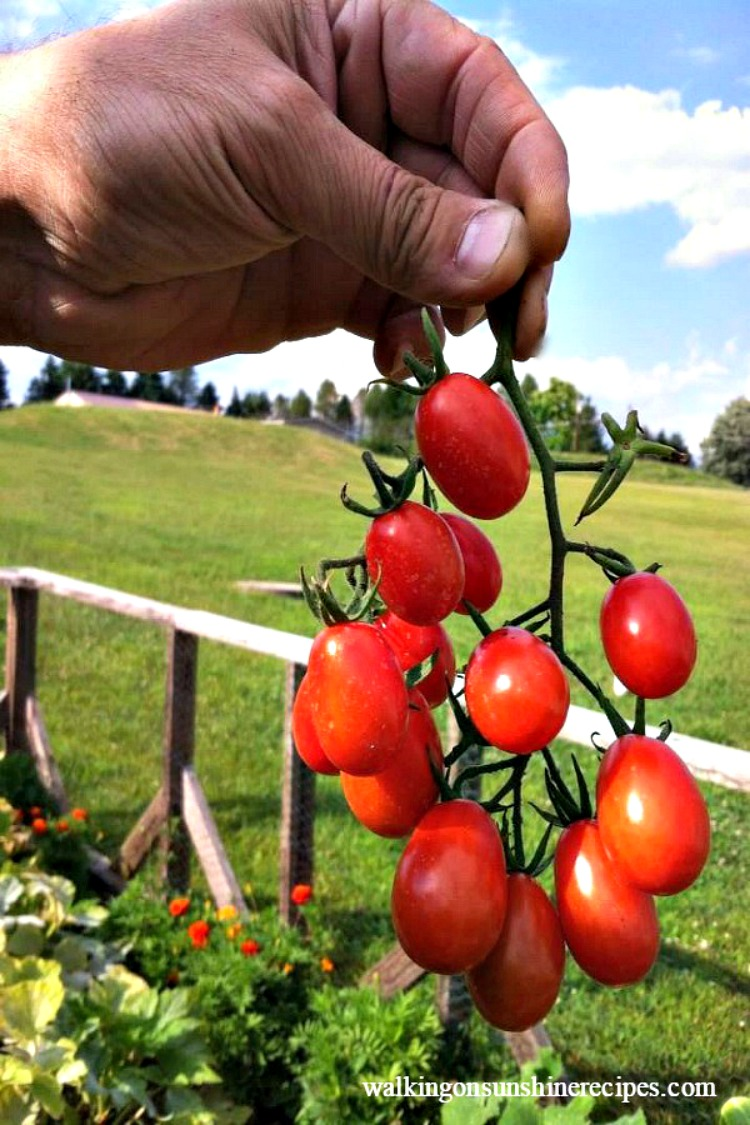 A bunch of beautiful grape tomatoes from Walking on Sunshine Recipes.