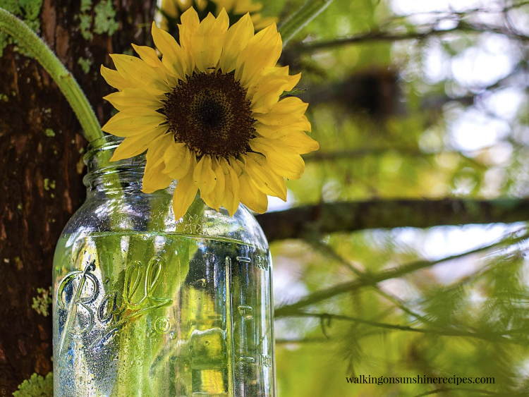 Sunflower in mason jar of water.