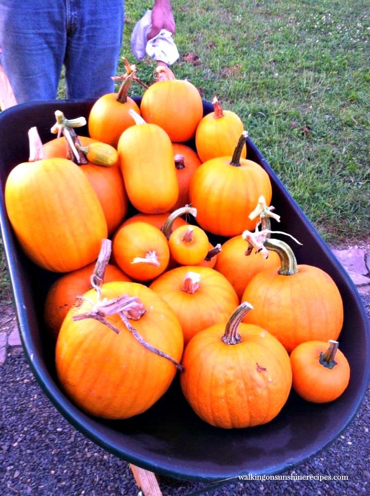 pumpkins in wheel barrel