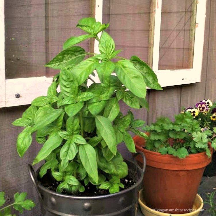 Basil plant in pot on shelf.