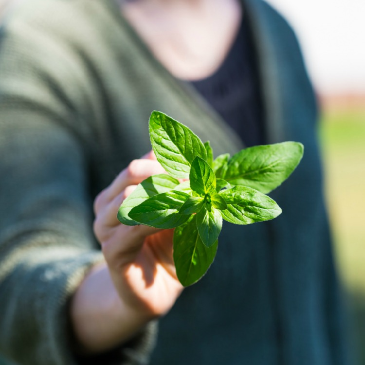 Woman holding basil leaves fresh picked from the garden.
