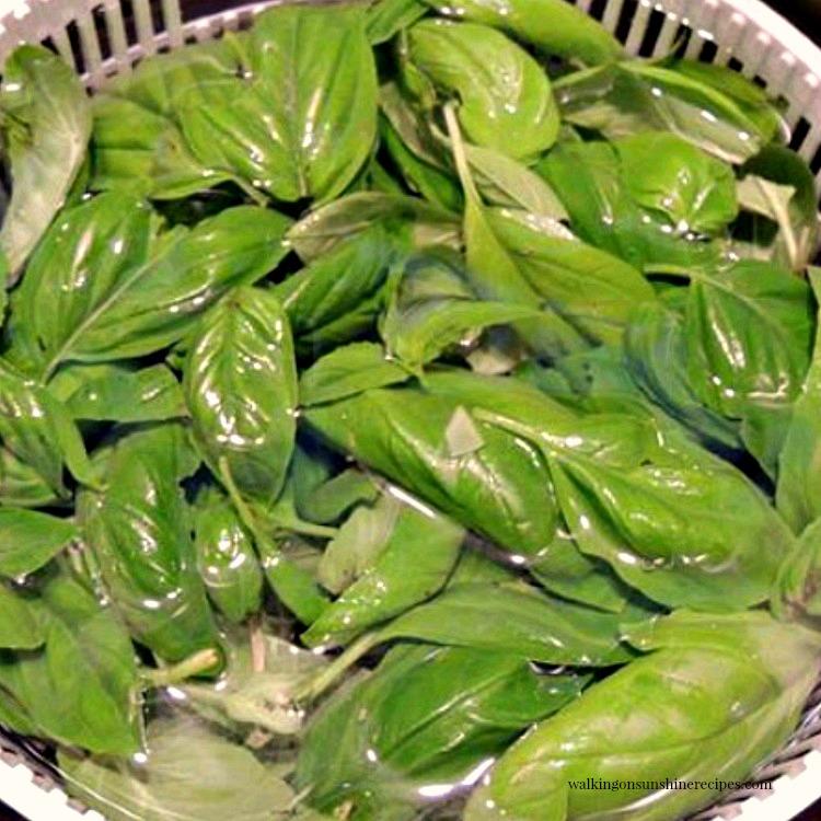 Fresh basil leaves in salad spinner.
