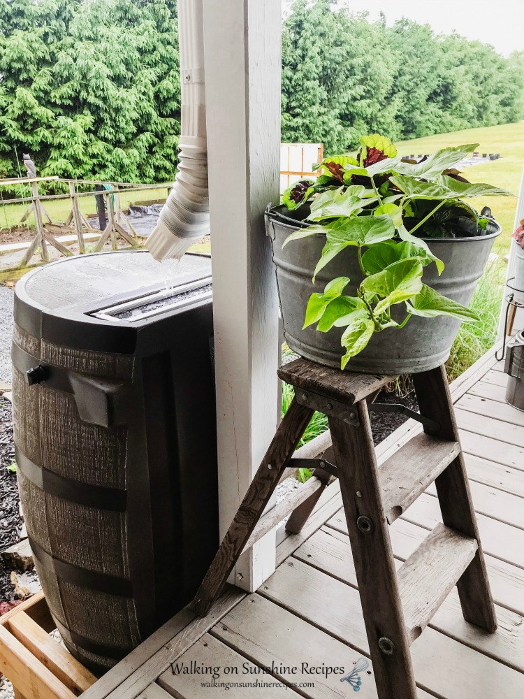 Rain barrel with potted plant in galvanized tub on ladder.