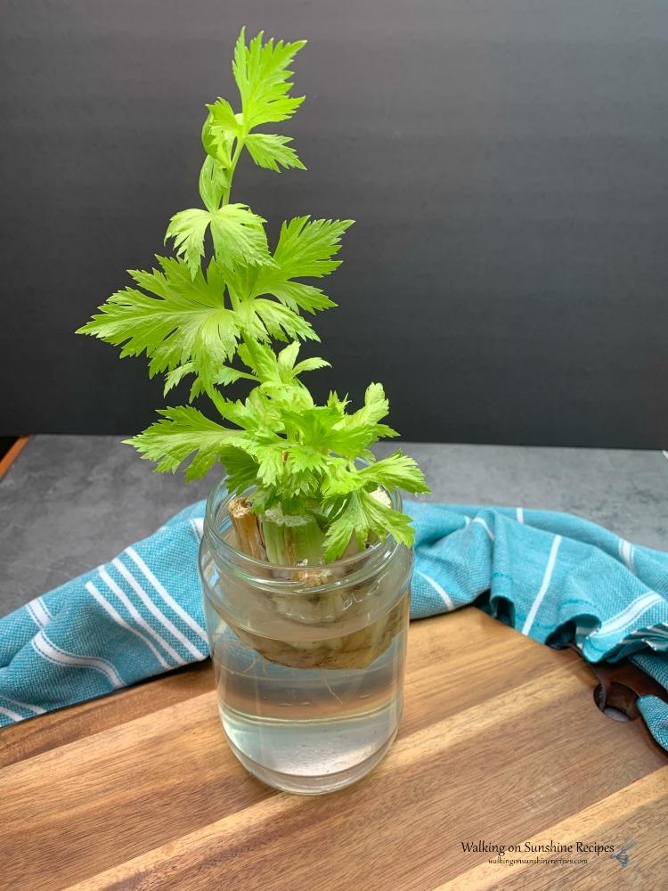 Celery growing in a jar of water.