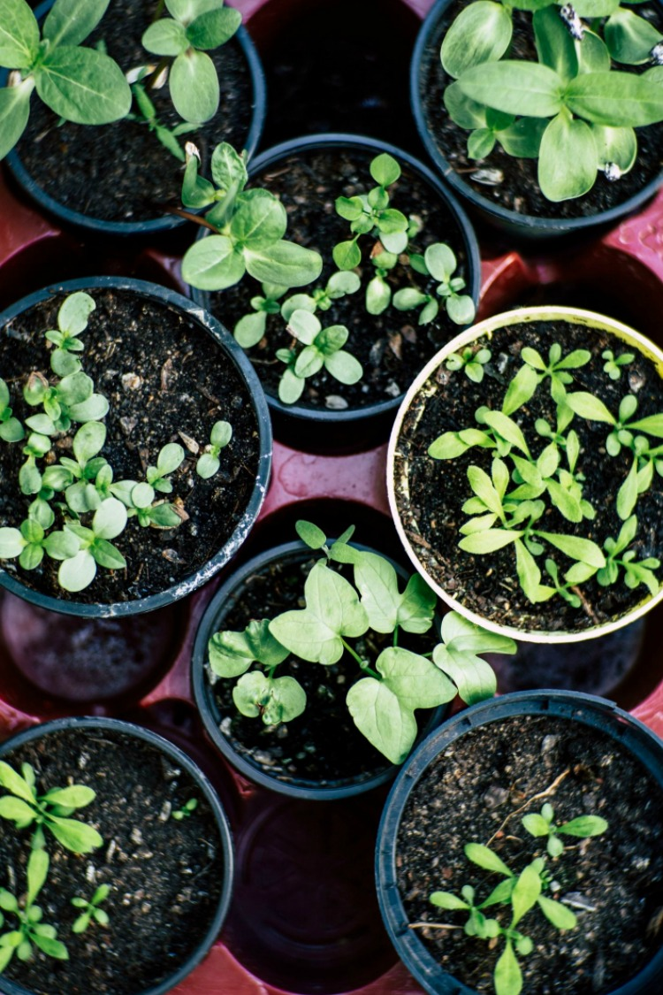 Overhead View of Herbs in Small Pots