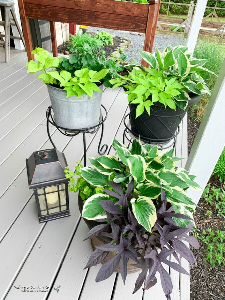 Growing hostas in planters as another option to growing them in the ground.